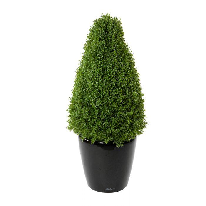 boxwood topiary