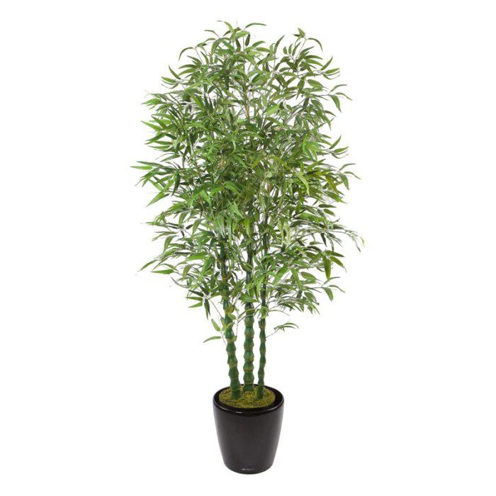 Buddha Bamboo
