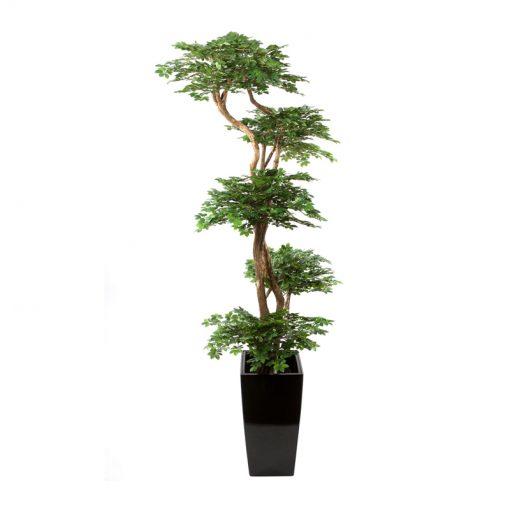 Ming Ficus