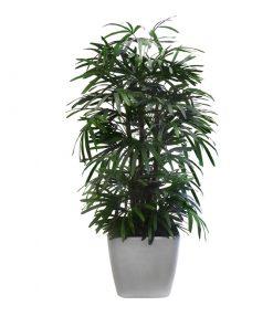 Reyfus Palm