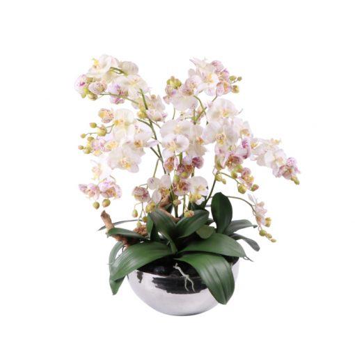 Miniature phaleanopsis orchids