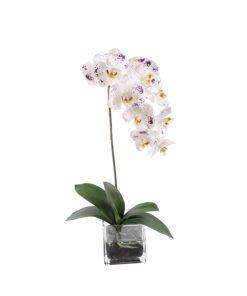 White Phaleanopsis with purple spots