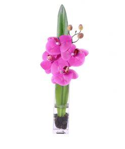 Fucshia Phalaenopsis Orchid
